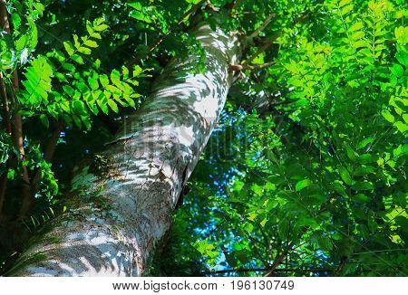 big tree forest tropical with branch and green woodland leaves background in nature. below of view