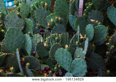 a lot of green Cactus flowers with needles 1