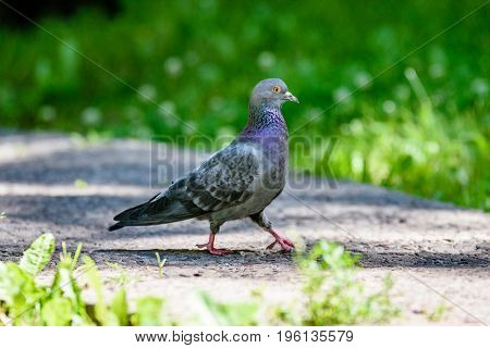 Grey Pidgeon/ Pidgin Sat On A Street
