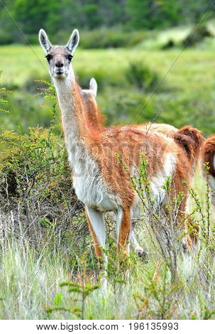 Guanaco Close Up In The Patagonia Fields