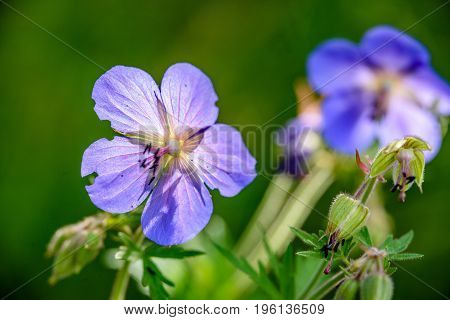 Blue Spring Flowers On Green Background