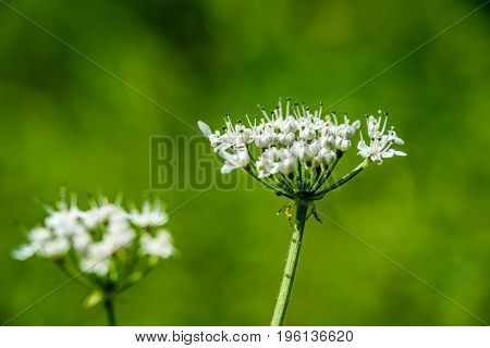 White Spring Flowers On Green Background