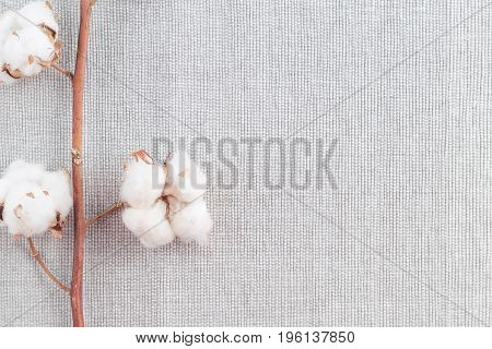 Cotton Plant Flower Branch On White Background