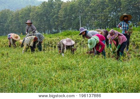 CHIANGMAI THAILAND - OCTOBER 25 2015: Thai farmers are harvesting leek in the farm in traditional harmony.