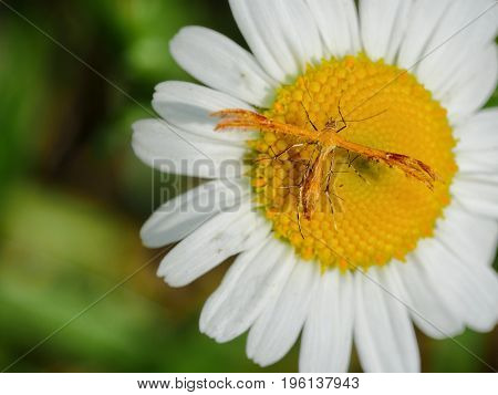 Close up of a plume moth resting on daisy flower