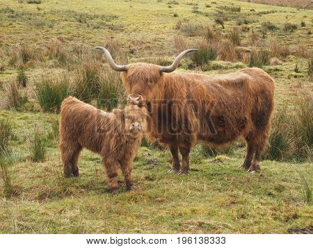 Funny image of the Highlands cows in Scotland