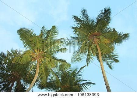 high beauty coconut palm trees and sky