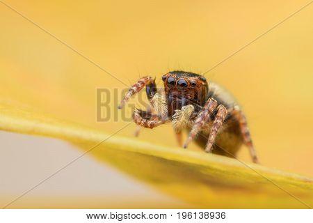 Super macro female Carrhotus Sannio or Jumping spider on yellow leaf
