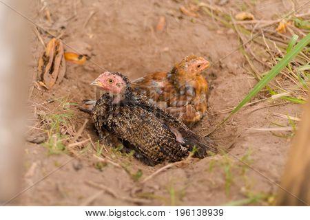 Chicken Family On Don Det