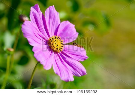 Pink cosmos flower (Cosmos Bipinnatus) with wild wasp. Close up