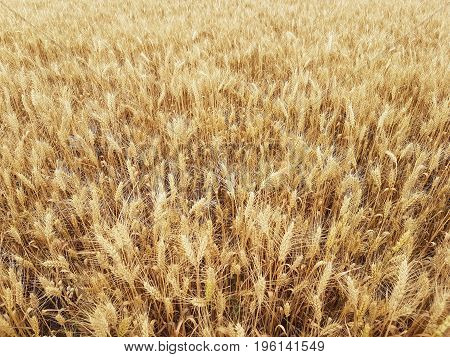 Summer wheat yellow field wheat background. Agrarian culture