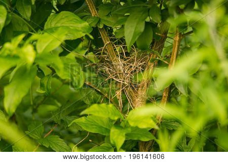 A beautiful hidden nest of a small bird in a bush build of straw.