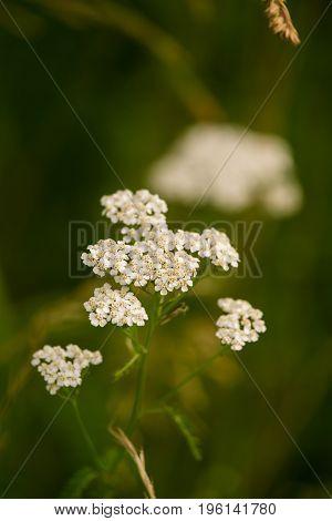 A beautiful yarrow flowering in a summer meadow. Vibrant closeup scenery.