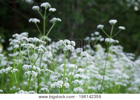 A beautiful valerian flowers blossoming in a summer meadow. A vibrant scenery.