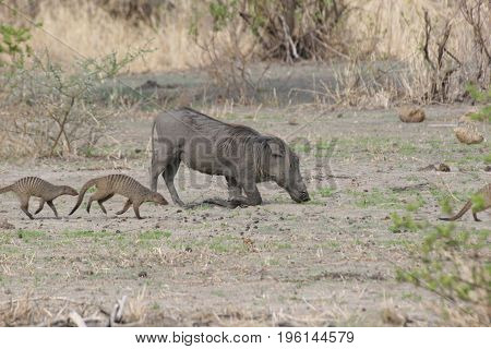 Wild Warthog Pig Dangerous Mammal Africa Savannah Kenya
