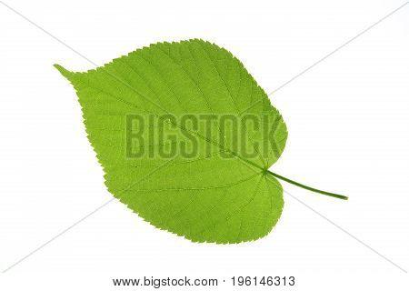 Single leaf isolated against white background (Tilia)