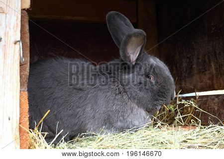 Pure bred male rabbit Moravian blue with tattoo in the ear. Well built rabbit in the open hutch.