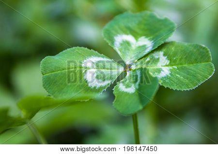 Extreme closeup horizontal photo of a live green four leaf clover