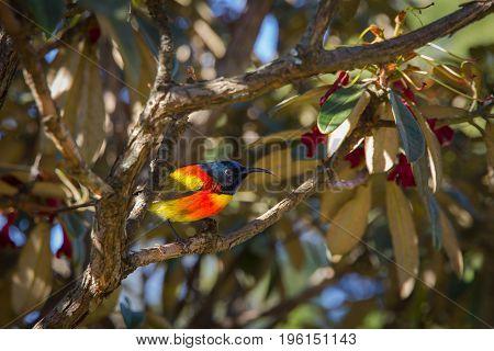 Beautiful Green-tailed sunbird at Doi Inthanon national park Thailand