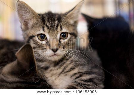 Closeup Portrait Of Small Tabby Kitten Looking Forward Cuddling Siblings