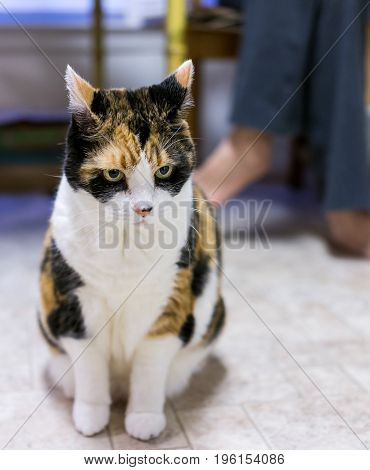 Angry Calico Cat Sitting In Front Of Owner With Ears Back