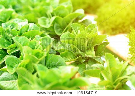Organic hydroponic vegetable cultivation farm in the morning light, Green cos lettuce.