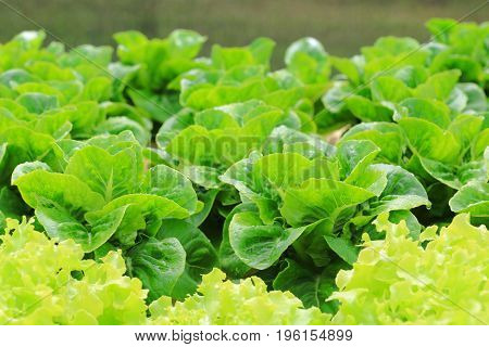 Organic hydroponic vegetable cultivation farm Green cos lettuce.