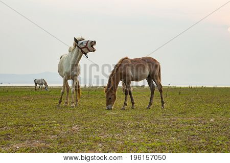 flock of domestic horse eating green grass in field
