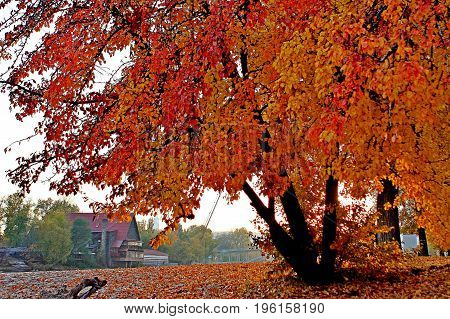 Autumn time.  Beutiful tree on the background of the village.