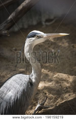 Gray heron with long beak close-up, vertical frame