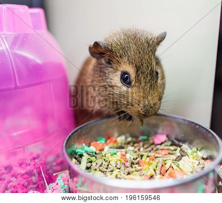 Closeup Of Cute Brown Guinea Pig With Whiskers Eating From Bowl