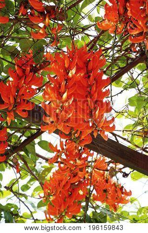 Newguinea creeper or red jade vine in nature