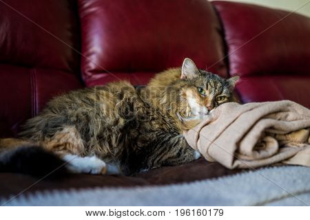 Calico Maine Coon Cat Closeup Resting Head On Pillow Blanket On Sofa