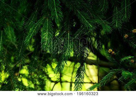 Photo of a fir tree. Branch needles.