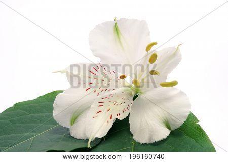 White flower Alstroemeria on a white background