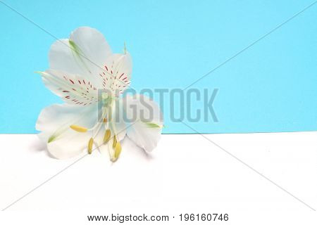 White flower Alstroemeria on a white and blue background