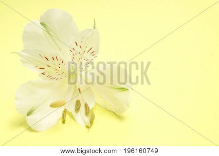 White flower Alstroemeria on a yellow background