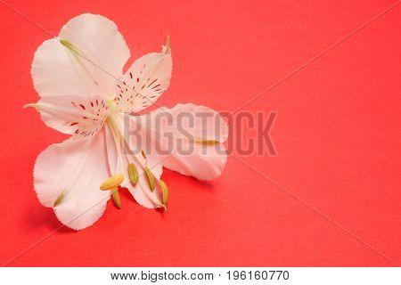 White flower Alstroemeria on a red background