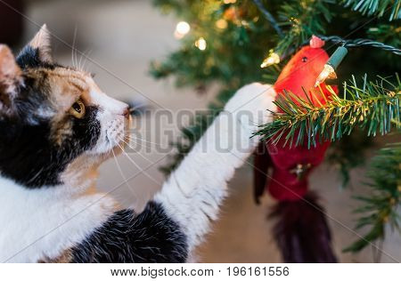 Calico Cat Reaching For Meat Treat On Decorative Cardinal Bird On Christmas Tree