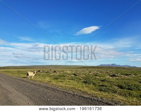 A single sheep by a dirt road and empty green field