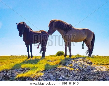 Two Icelandic horses with their penises hanging out