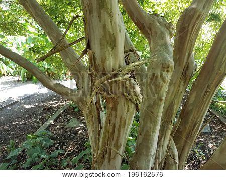 peeling bark falling off on a crape myrtle tree