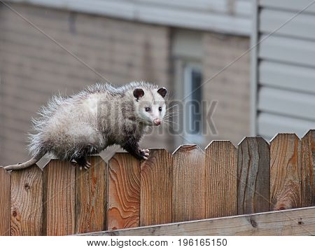 With precision balance a opossum uses it sharp claws and spiny tail to navigate the top of a picket fence.