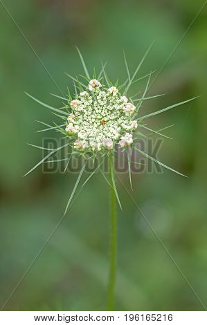 Pink petals surround the tiny lace like flowers of a Queen Anne's Lace. Hidden in the center of the flat-topped umbel a solitary purple flower blossoms.