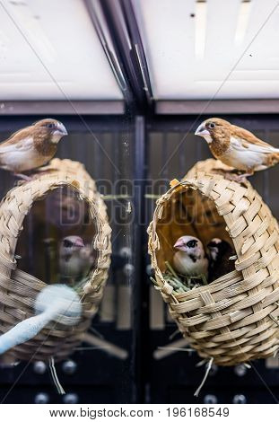 Finches In House In Cage With Reflection