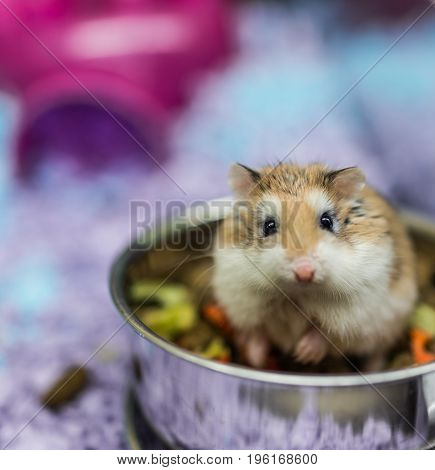 Robo Dwarf Hamster Eating Chewing Food From Bowl In Cage