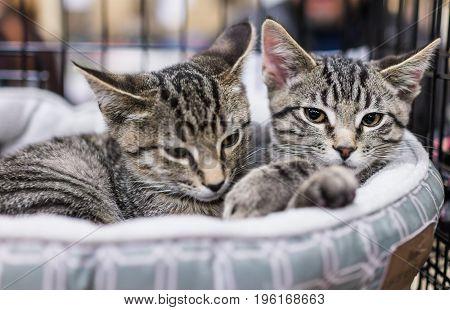 Two Tabby Kittens Siblings Cuddling In Cage
