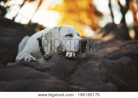 young cute exhausted labrador retriever dog puppy sleeps peacefully during a hike in the forest