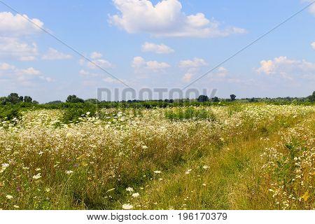 Meadow of white wild flowers. Summer landscape