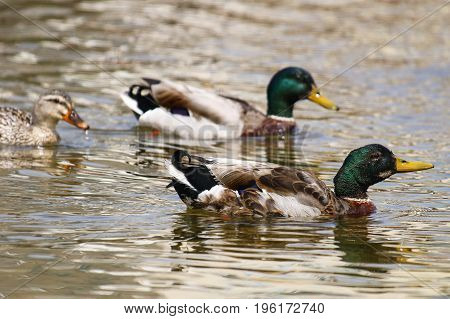 A female mallard swimming behind two mallards, one of which has begun it's annual moult